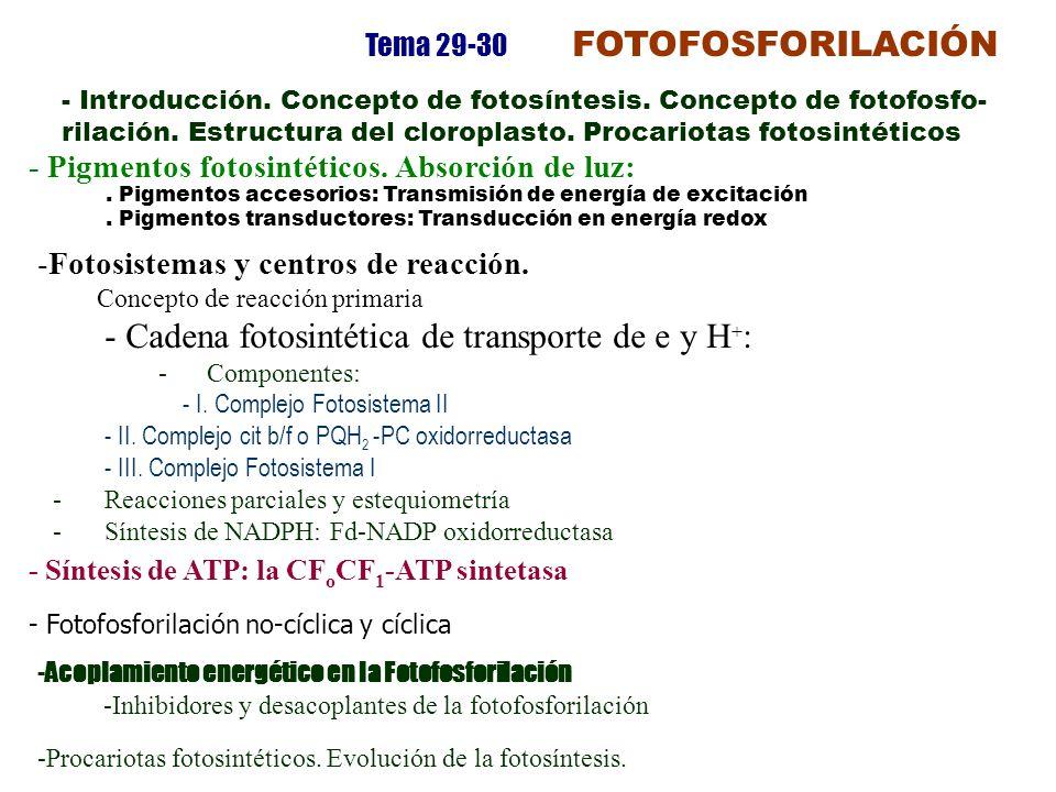- Cadena fotosintética de transporte de e y H+: