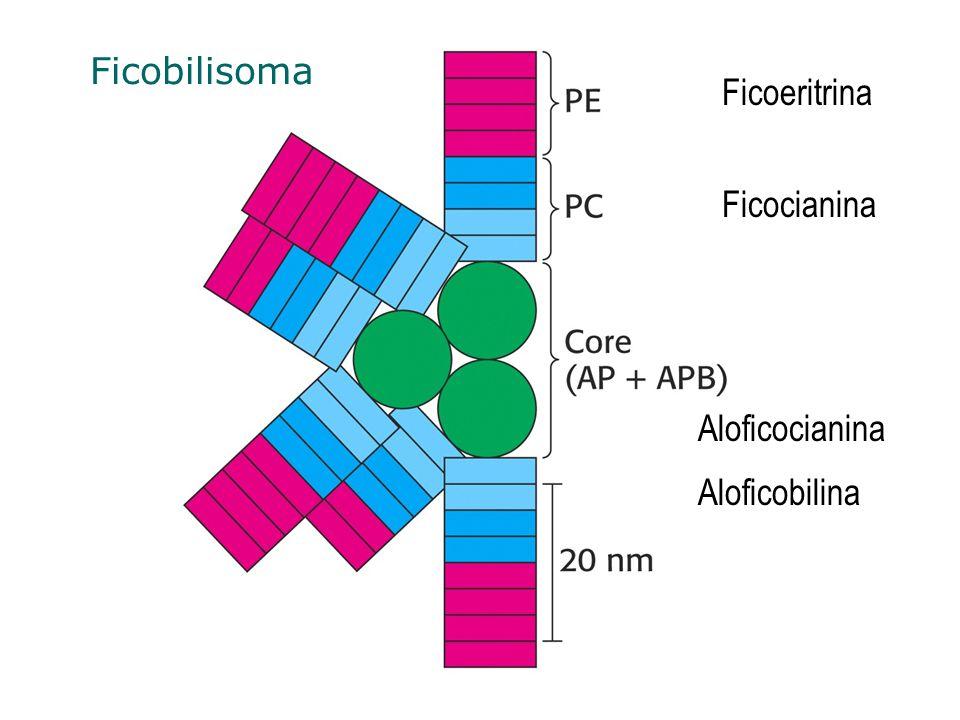Ficobilisoma Ficoeritrina Ficocianina Aloficocianina Aloficobilina
