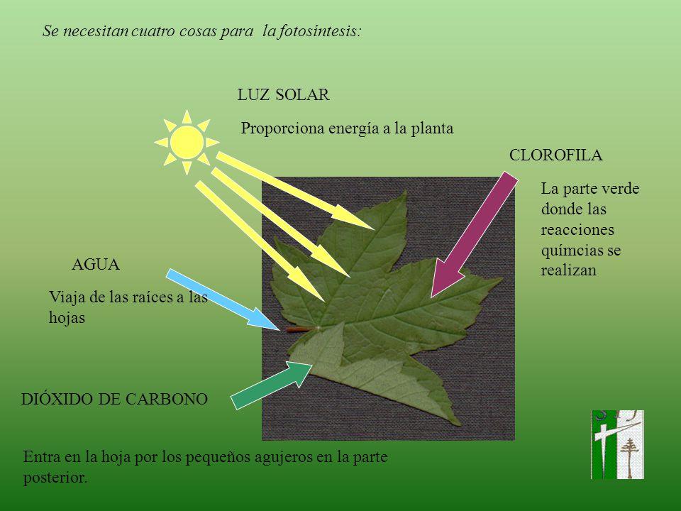 Se necesitan cuatro cosas para la fotosíntesis: