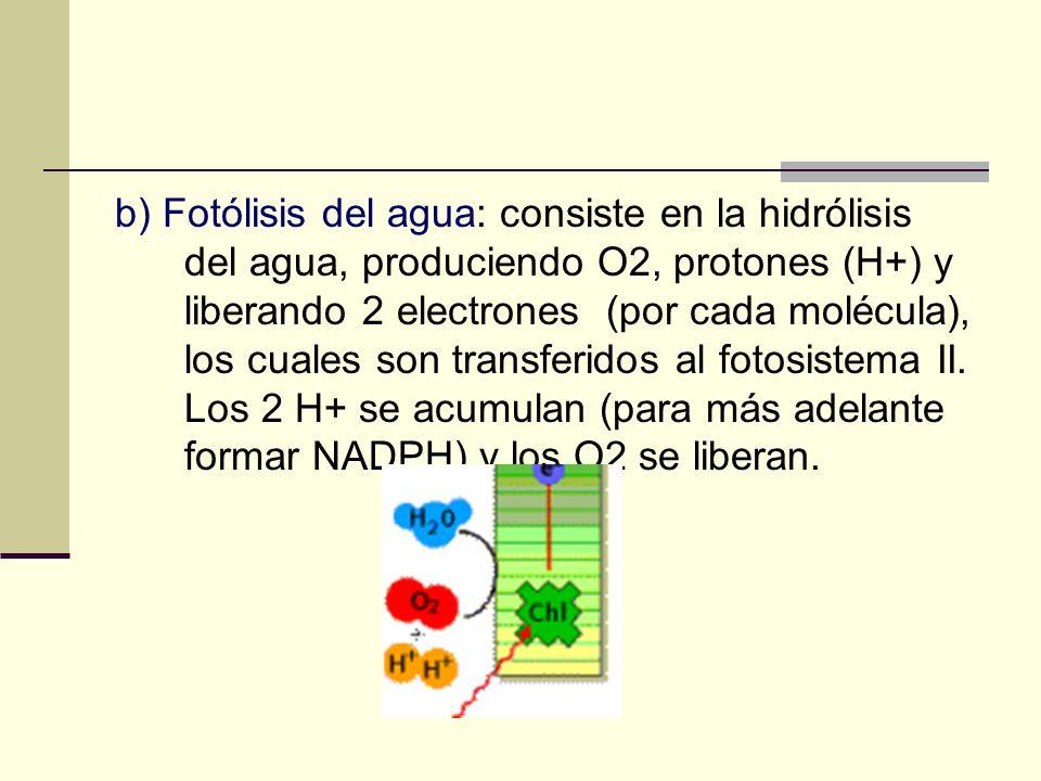 b) Fotólisis del agua: consiste en la hidrólisis del agua, produciendo O2, protones (H+) y liberando 2 electrones (por cada molécula), los cuales son transferidos al fotosistema II.