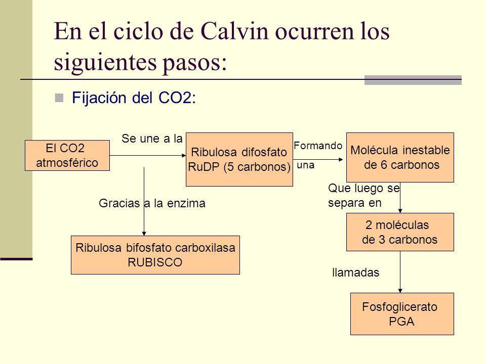 En el ciclo de Calvin ocurren los siguientes pasos: