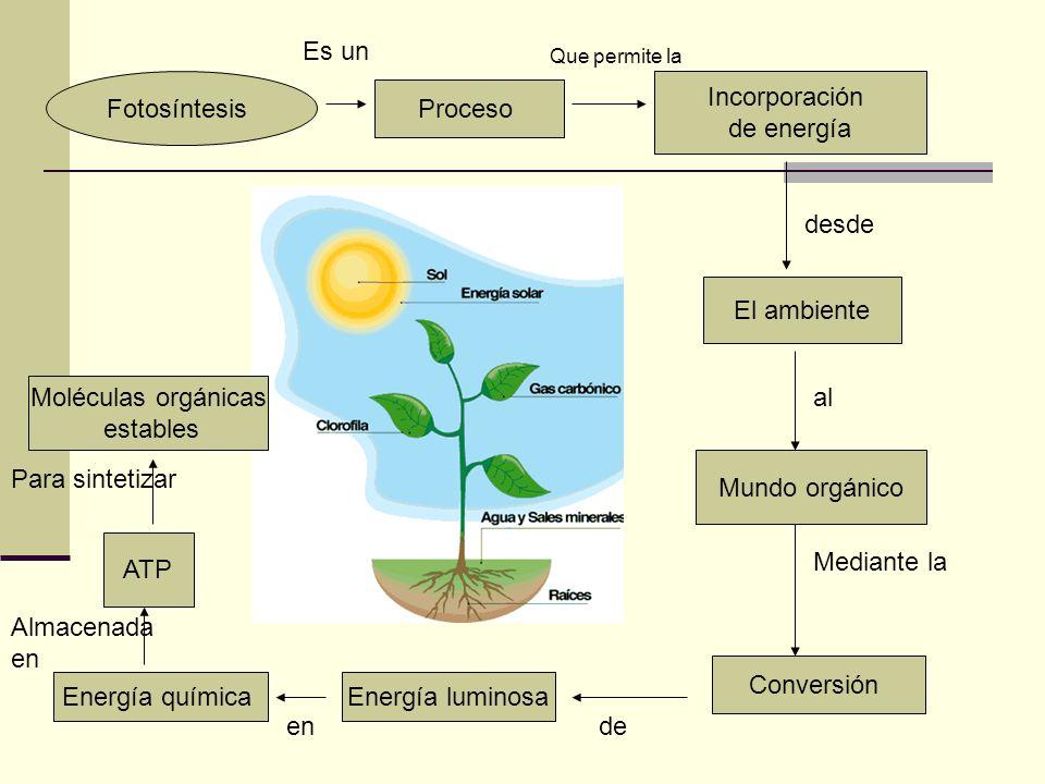 Es un Fotosíntesis Incorporación de energía Proceso desde El ambiente