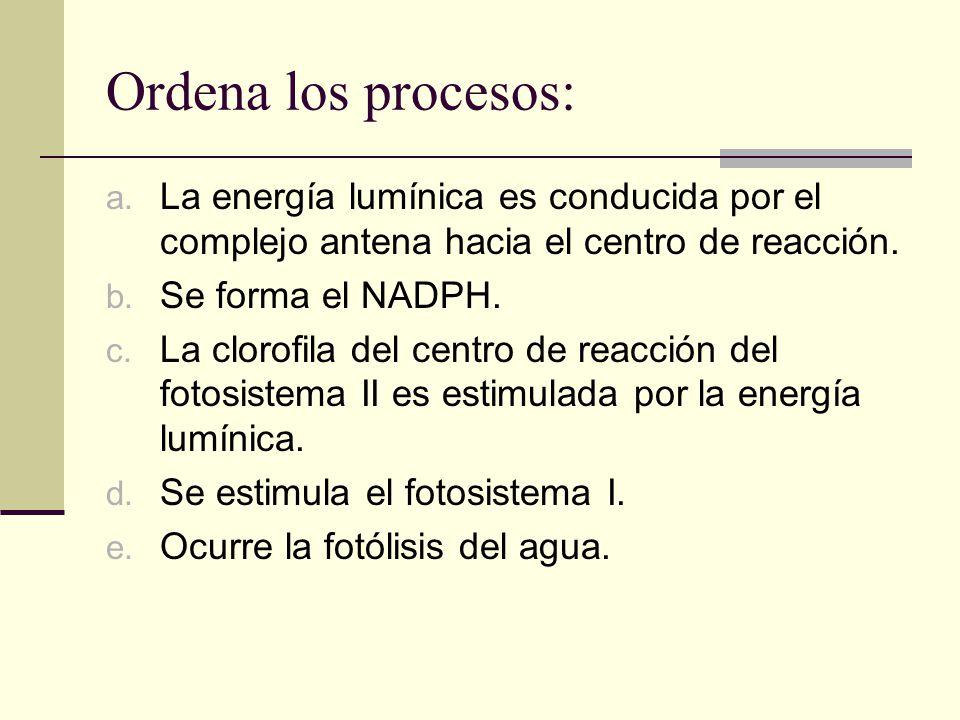 Ordena los procesos: La energía lumínica es conducida por el complejo antena hacia el centro de reacción.