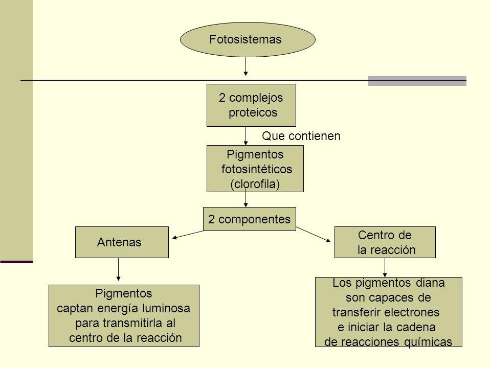 transferir electrones e iniciar la cadena de reacciones químicas