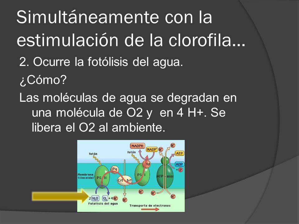 Simultáneamente con la estimulación de la clorofila…
