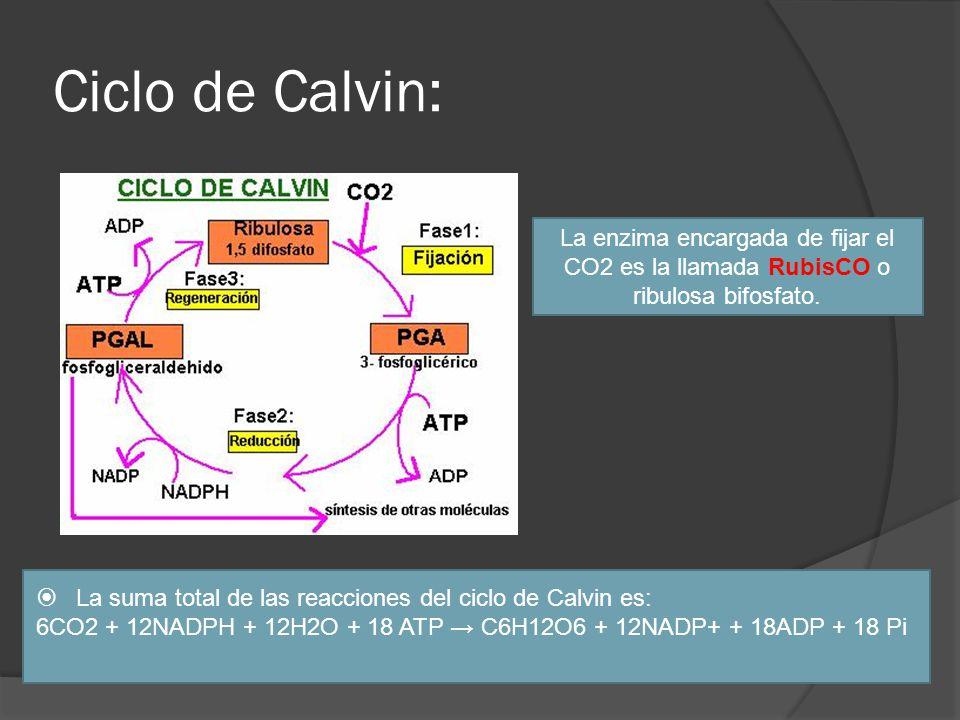 Ciclo de Calvin: La enzima encargada de fijar el CO2 es la llamada RubisCO o ribulosa bifosfato.
