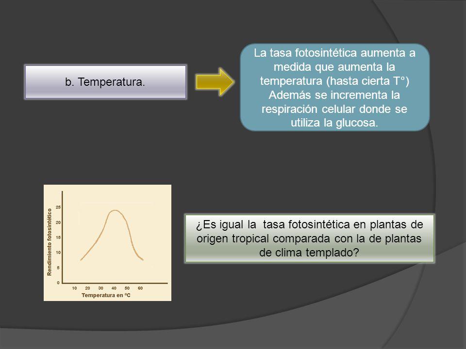 La tasa fotosintética aumenta a medida que aumenta la temperatura (hasta cierta T°)