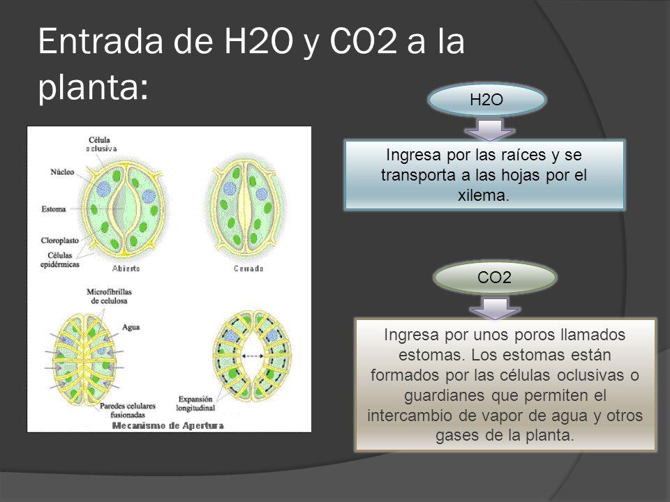 Entrada de H2O y CO2 a la planta: