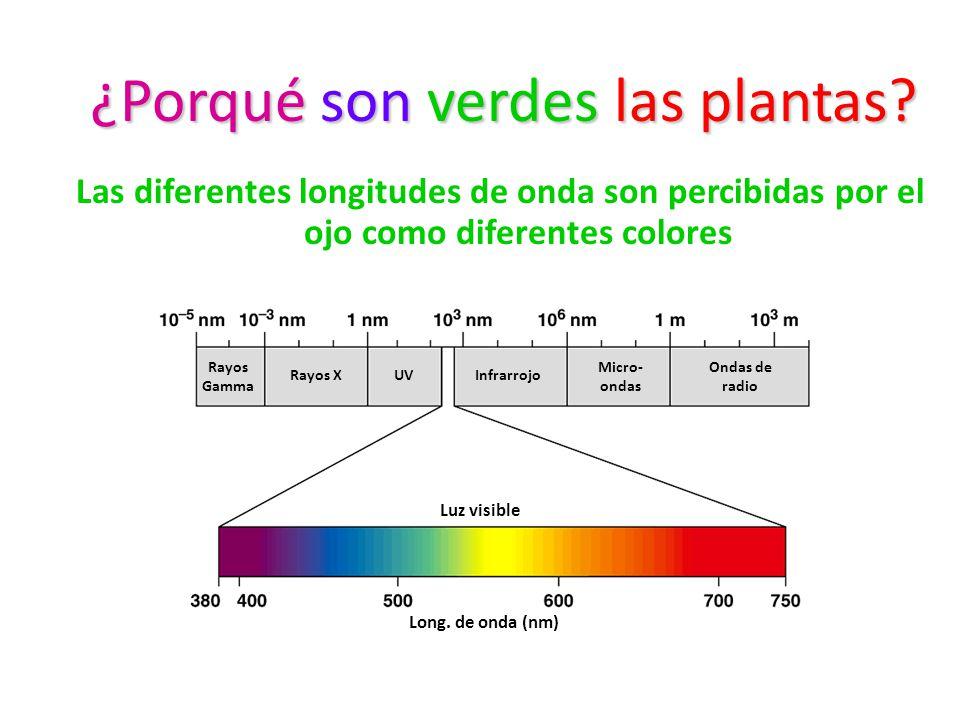 ¿Porqué son verdes las plantas