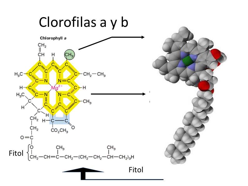 Clorofilas a y b Metilo en Chl a CHO en Chl b e- deslocalizados