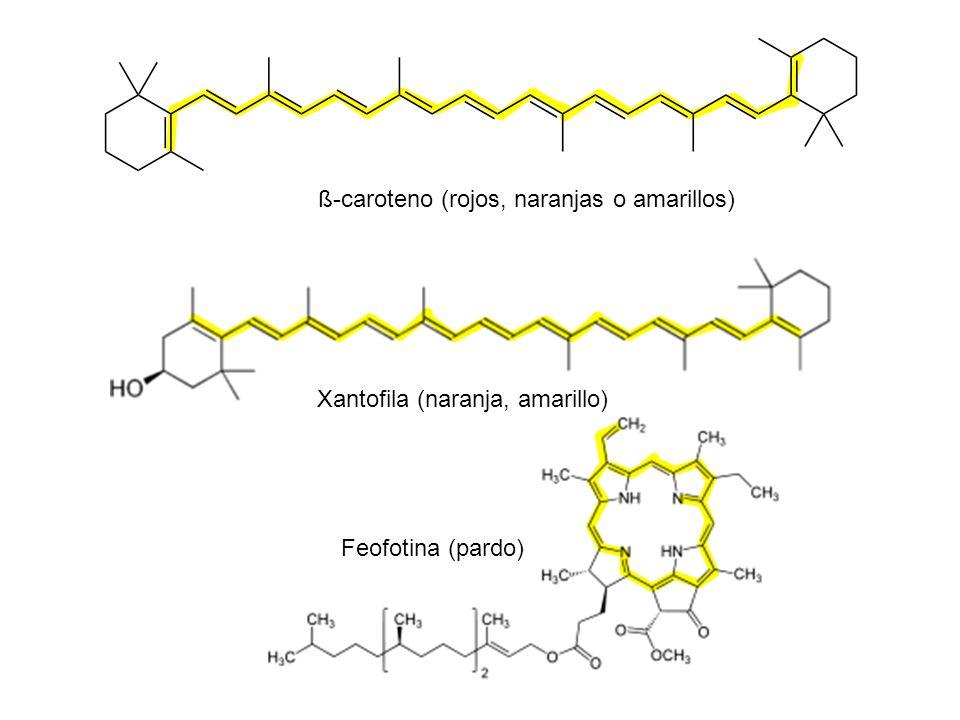 ß-caroteno (rojos, naranjas o amarillos)