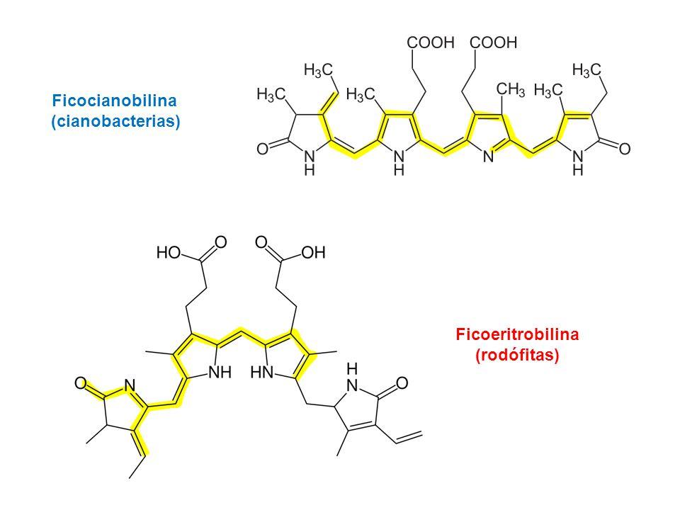 Ficocianobilina (cianobacterias) Ficoeritrobilina (rodófitas)
