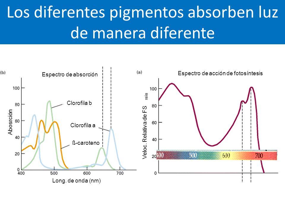 Los diferentes pigmentos absorben luz de manera diferente