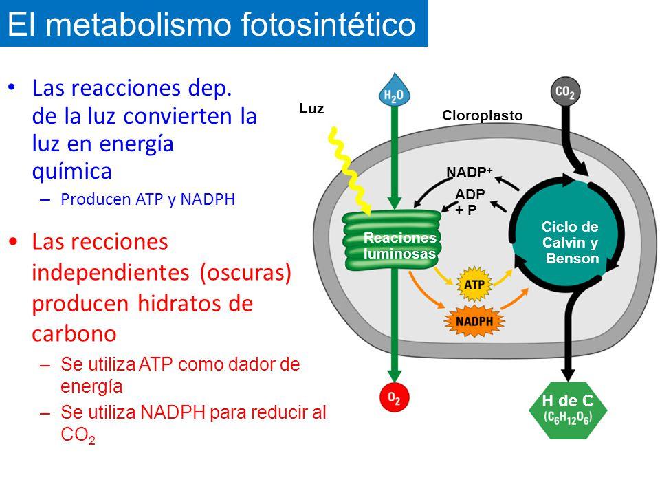 El metabolismo fotosintético
