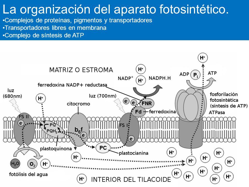 La organización del aparato fotosintético.