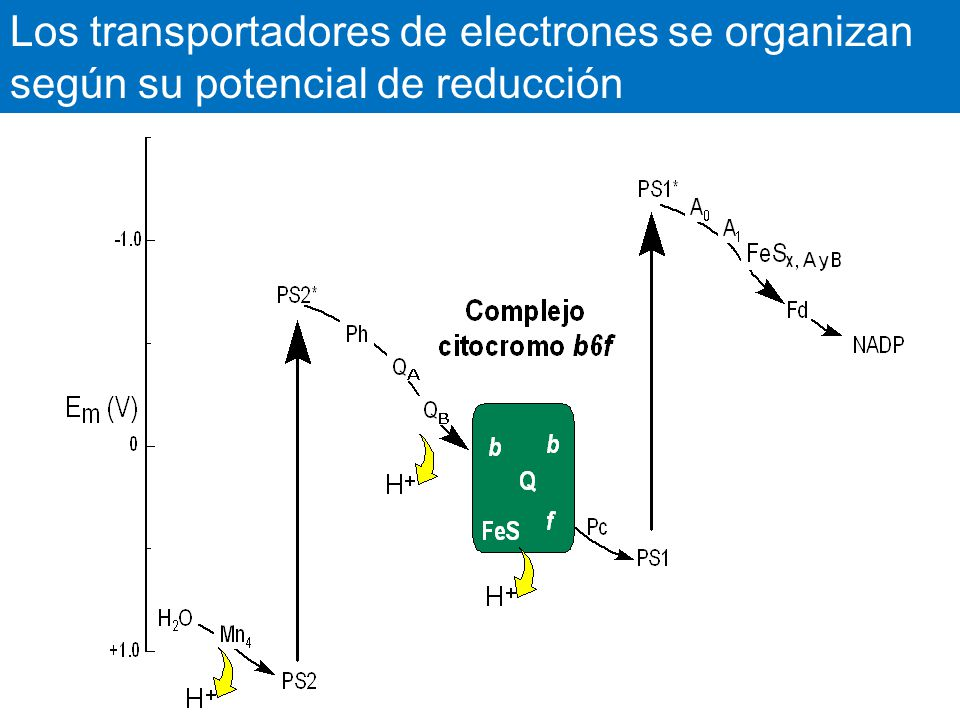 Los transportadores de electrones se organizan según su potencial de reducción