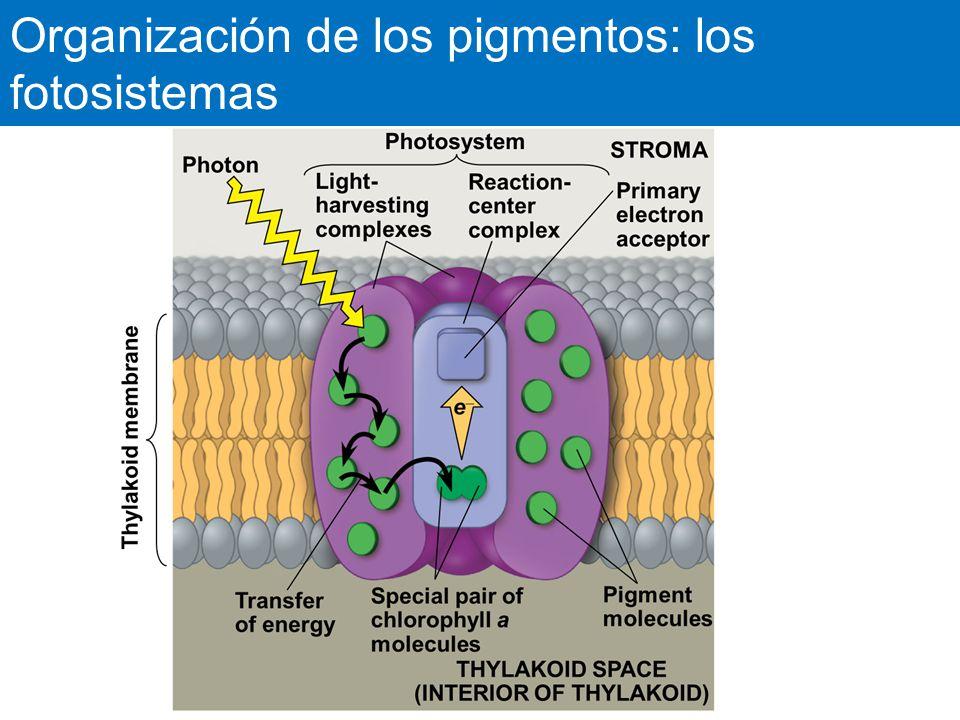 Organización de los pigmentos: los fotosistemas