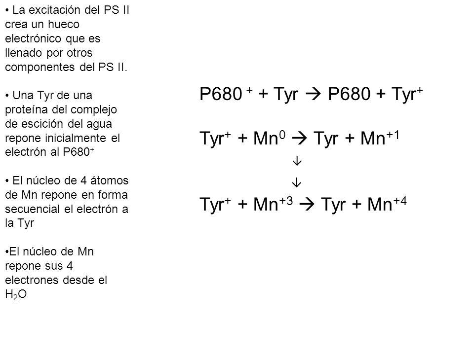 P680 + + Tyr  P680 + Tyr+ Tyr+ + Mn0  Tyr + Mn+1