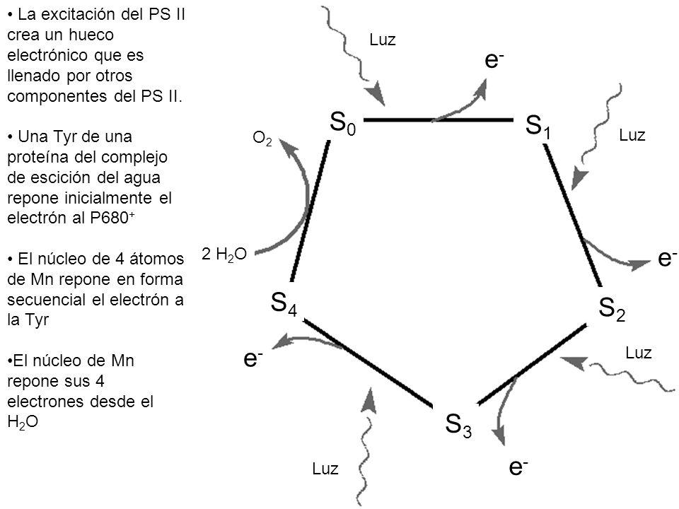 La excitación del PS II crea un hueco electrónico que es llenado por otros componentes del PS II.
