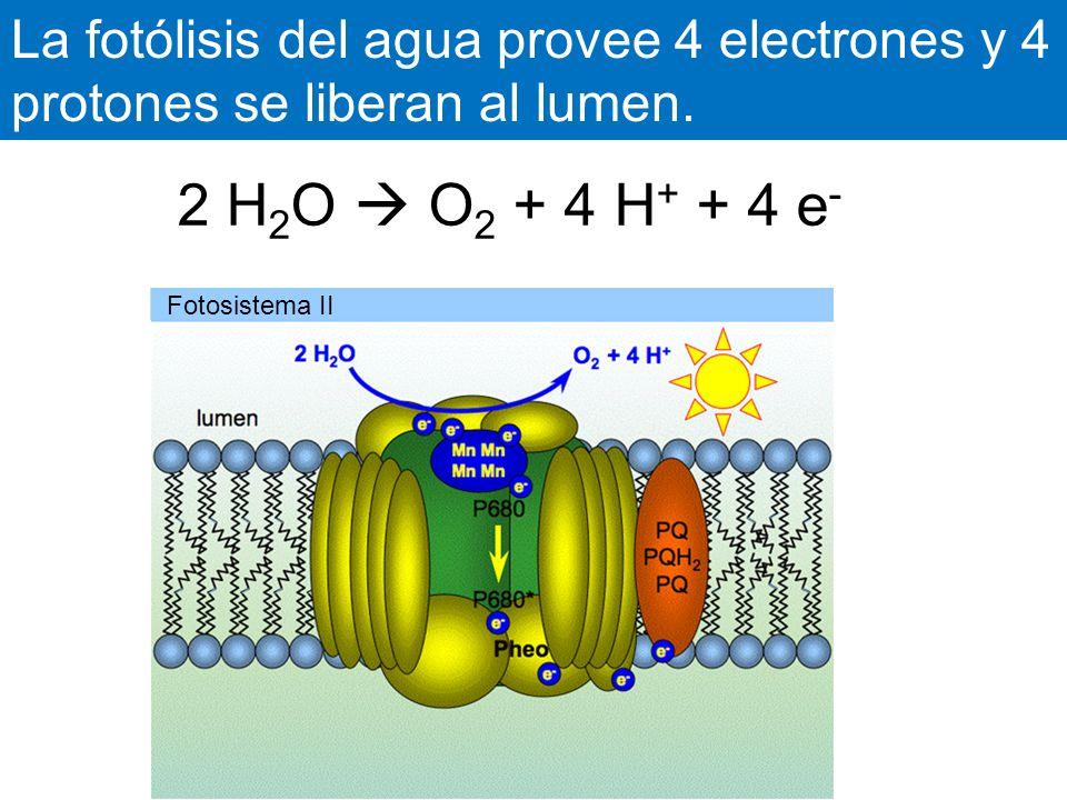 La fotólisis del agua provee 4 electrones y 4 protones se liberan al lumen.