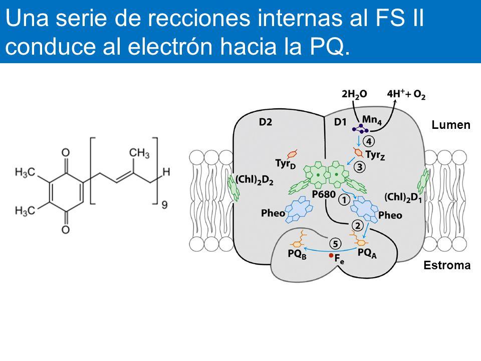 Una serie de recciones internas al FS II conduce al electrón hacia la PQ.