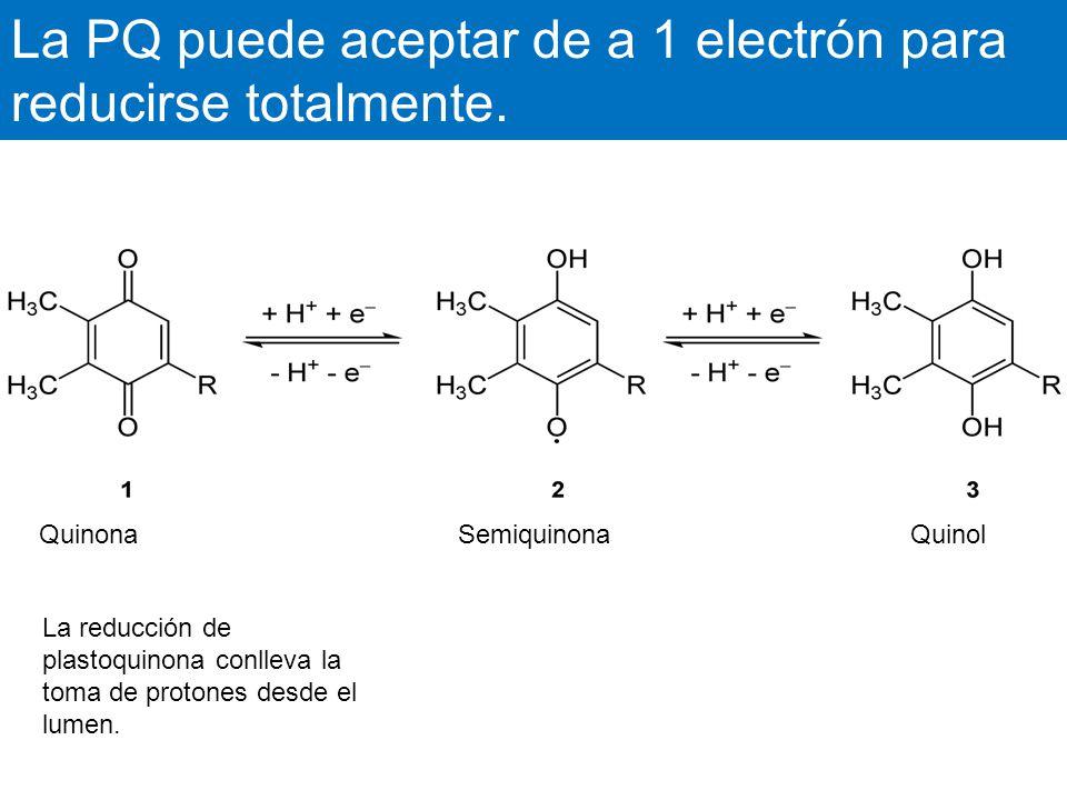 La PQ puede aceptar de a 1 electrón para reducirse totalmente.