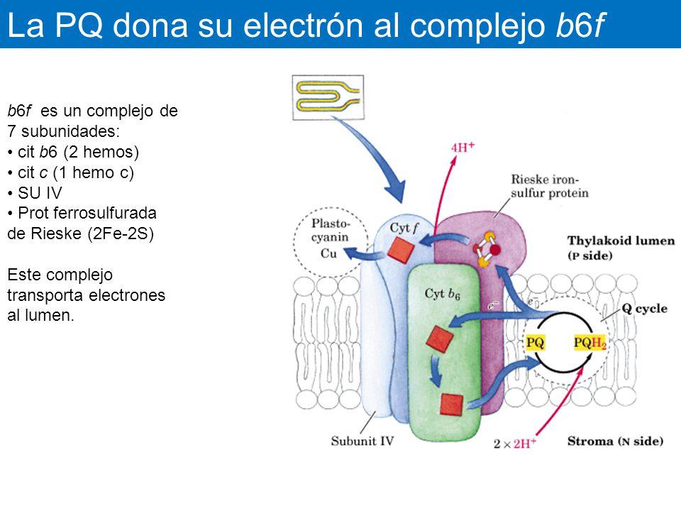 La PQ dona su electrón al complejo b6f