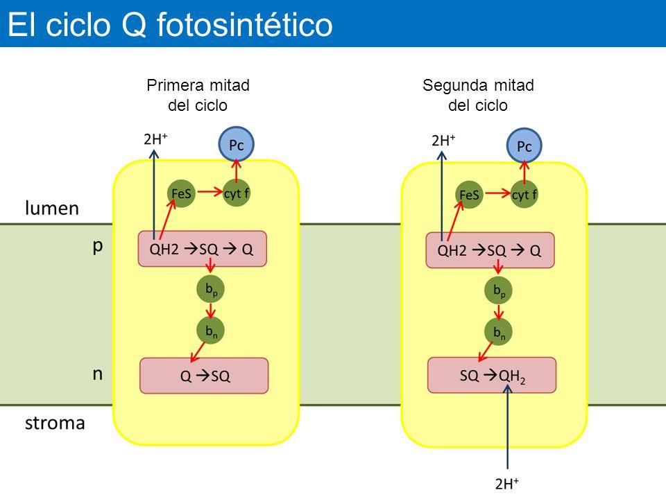 El ciclo Q fotosintético