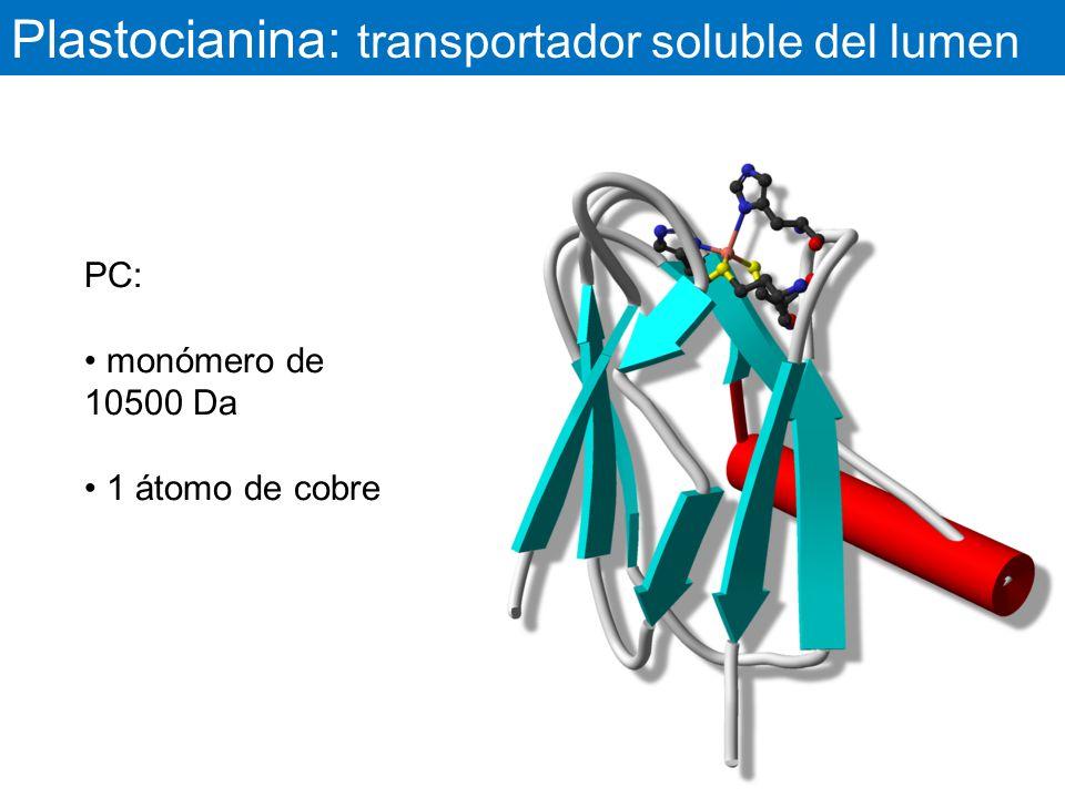 Plastocianina: transportador soluble del lumen