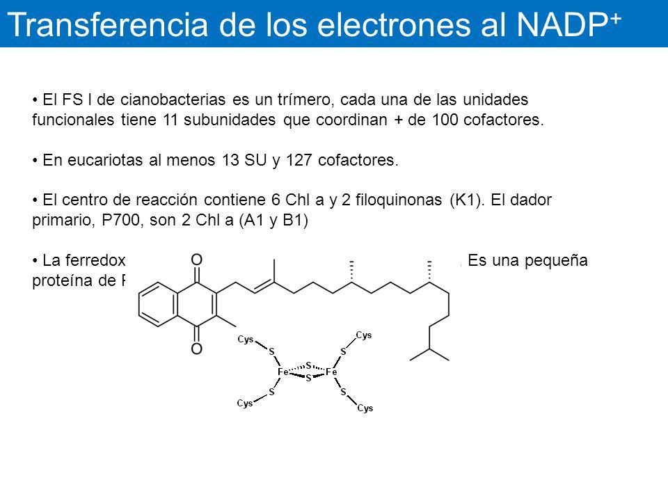 Transferencia de los electrones al NADP+