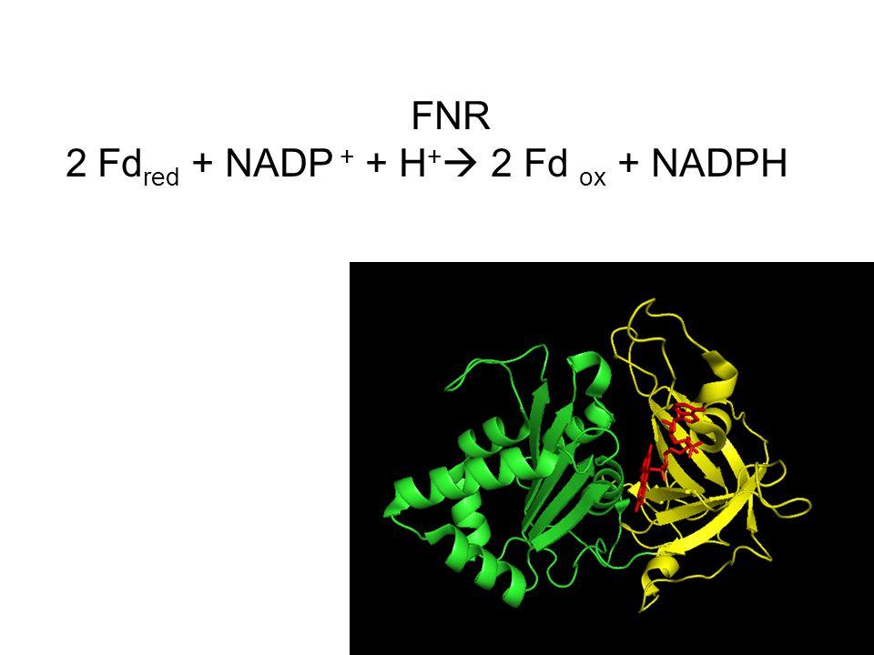 FNR 2 Fdred + NADP + + H+ 2 Fd ox + NADPH