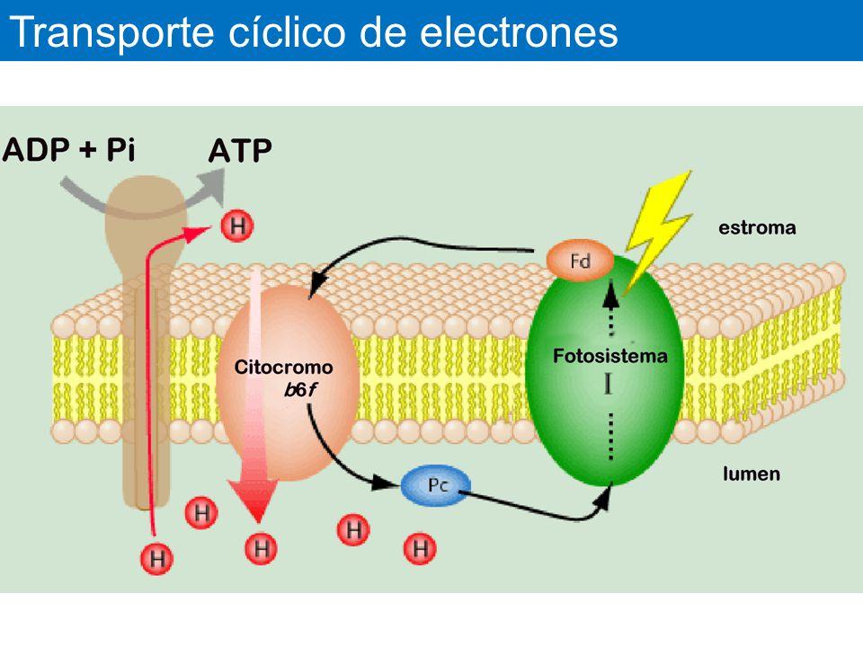 Transporte cíclico de electrones