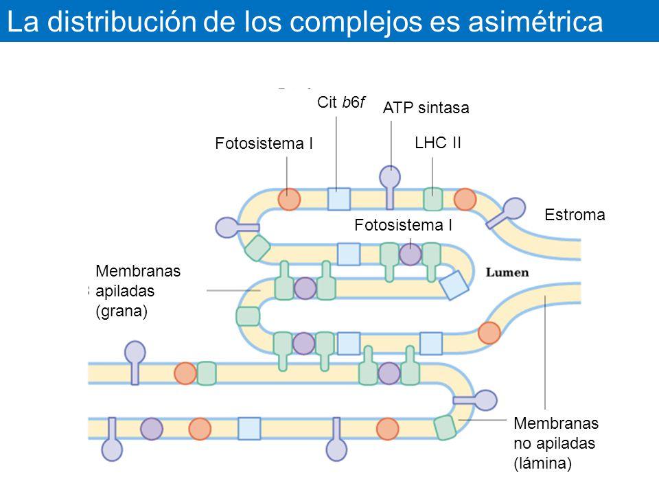La distribución de los complejos es asimétrica