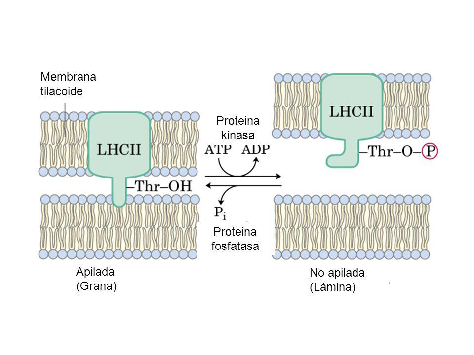 Membrana tilacoide Proteina kinasa Proteina fosfatasa Apilada (Grana) No apilada (Lámina)
