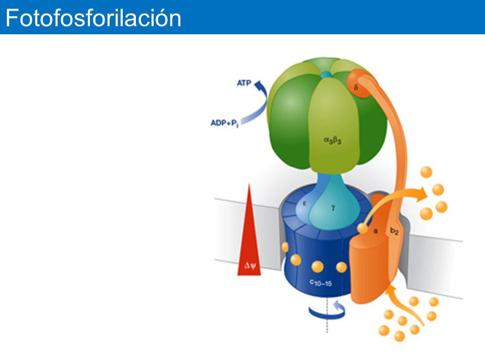 Fotofosforilación