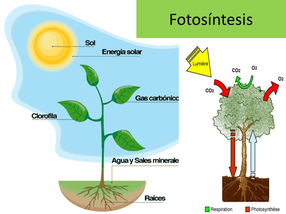 Importancia del atp en la fotosintesis 55