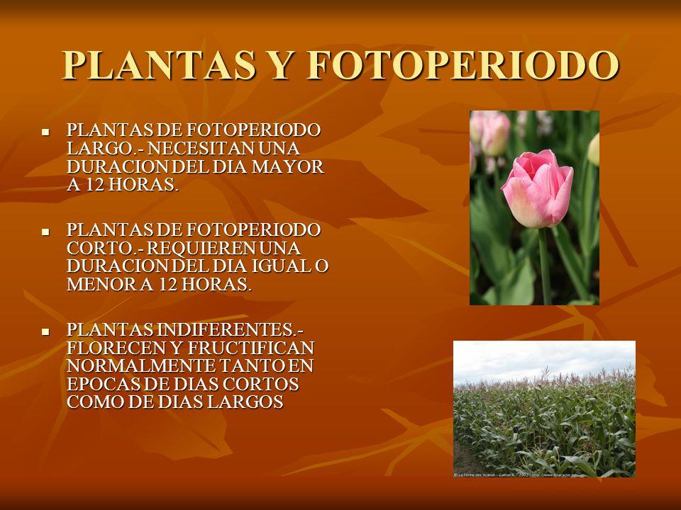 PLANTAS Y FOTOPERIODO PLANTAS DE FOTOPERIODO LARGO.- NECESITAN UNA DURACION DEL DIA MAYOR A 12 HORAS.
