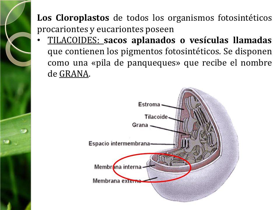 Los Cloroplastos de todos los organismos fotosintéticos procariontes y eucariontes poseen