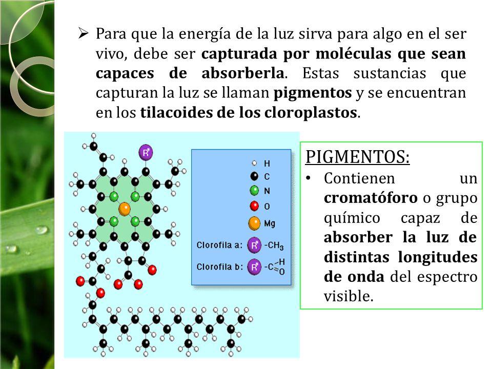 Para que la energía de la luz sirva para algo en el ser vivo, debe ser capturada por moléculas que sean capaces de absorberla. Estas sustancias que capturan la luz se llaman pigmentos y se encuentran en los tilacoides de los cloroplastos.