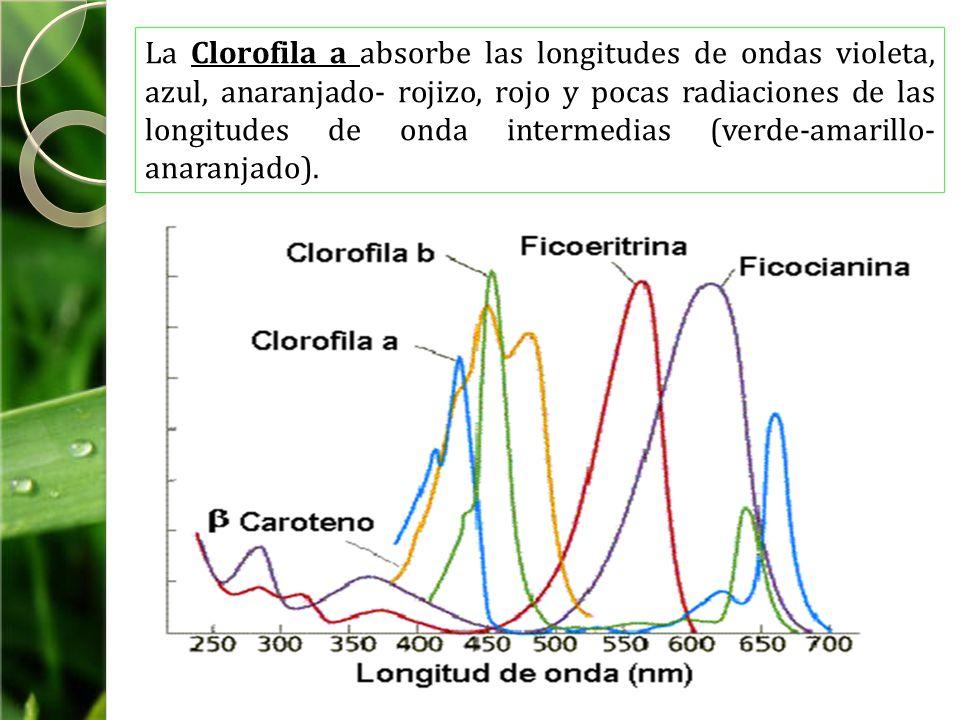 La Clorofila a absorbe las longitudes de ondas violeta, azul, anaranjado- rojizo, rojo y pocas radiaciones de las longitudes de onda intermedias (verde-amarillo-anaranjado).