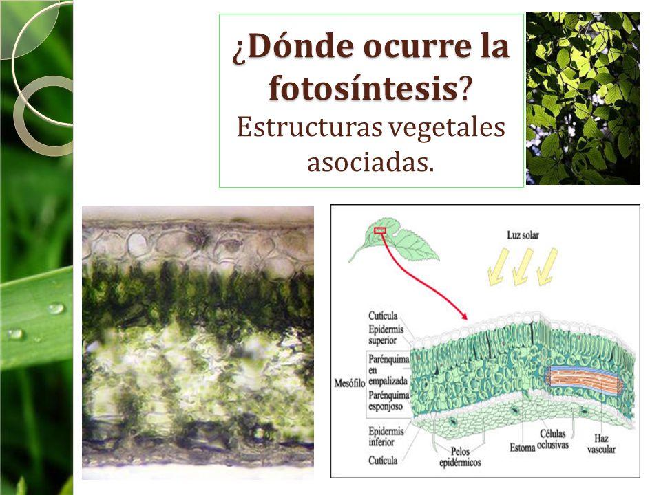 ¿Dónde ocurre la fotosíntesis Estructuras vegetales asociadas.
