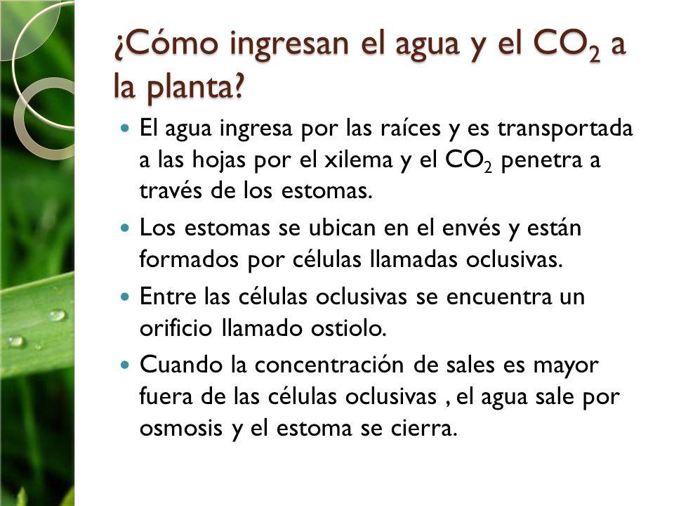 ¿Cómo ingresan el agua y el CO2 a la planta