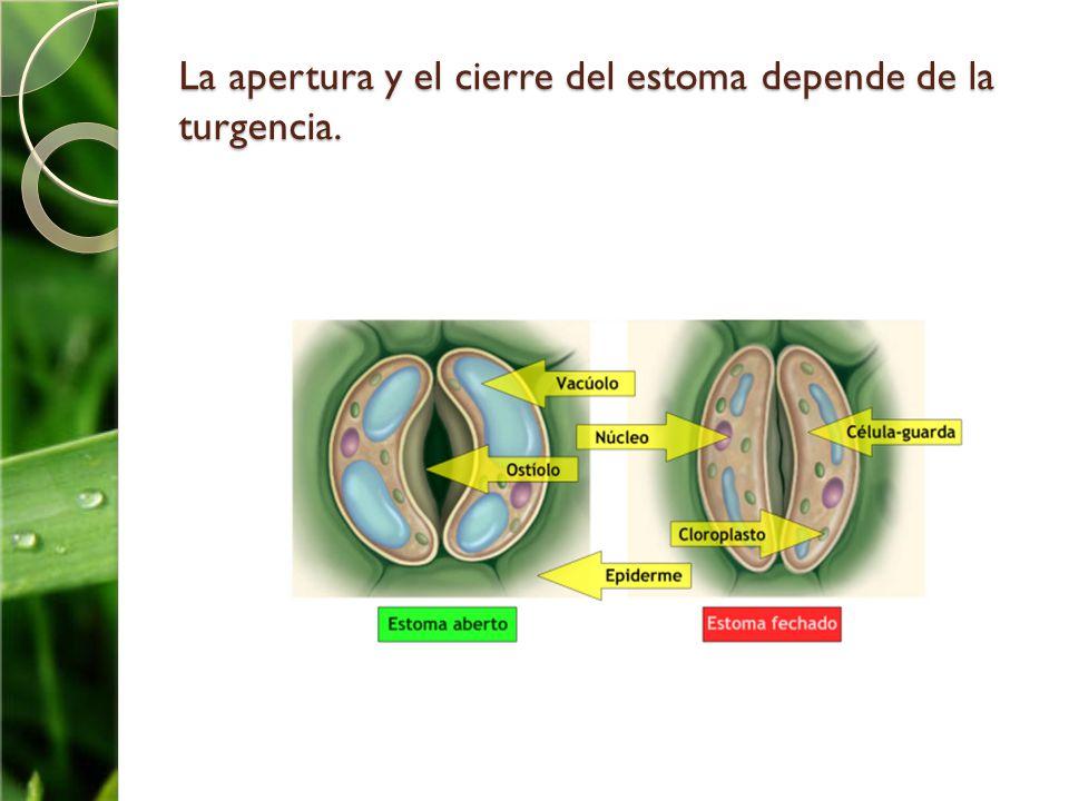 La apertura y el cierre del estoma depende de la turgencia.