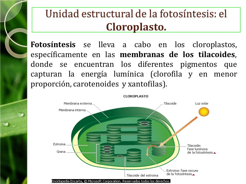 Unidad estructural de la fotosíntesis: el Cloroplasto.