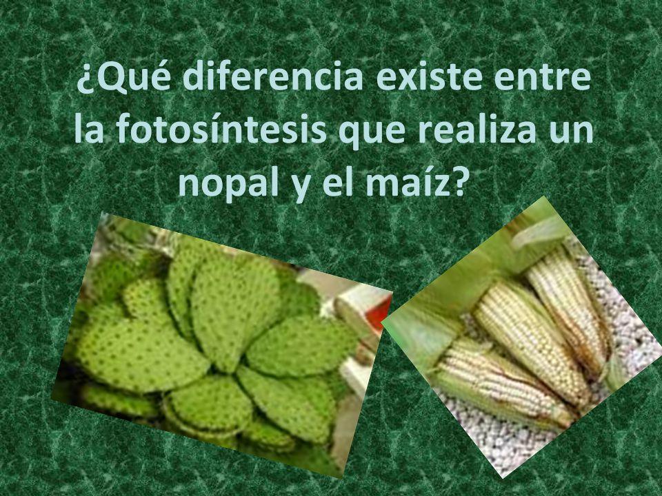 ¿Qué diferencia existe entre la fotosíntesis que realiza un nopal y el maíz