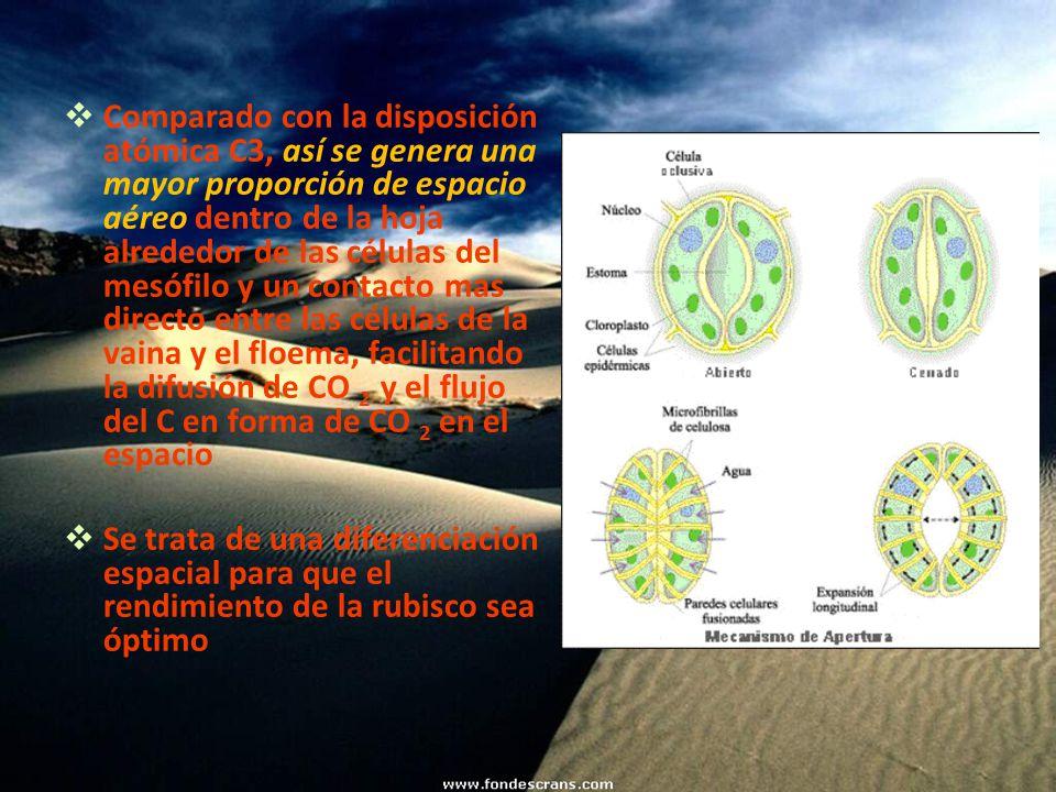 Comparado con la disposición atómica C3, así se genera una mayor proporción de espacio aéreo dentro de la hoja alrededor de las células del mesófilo y un contacto mas directo entre las células de la vaina y el floema, facilitando la difusión de CO 2 y el flujo del C en forma de CO 2 en el espacio