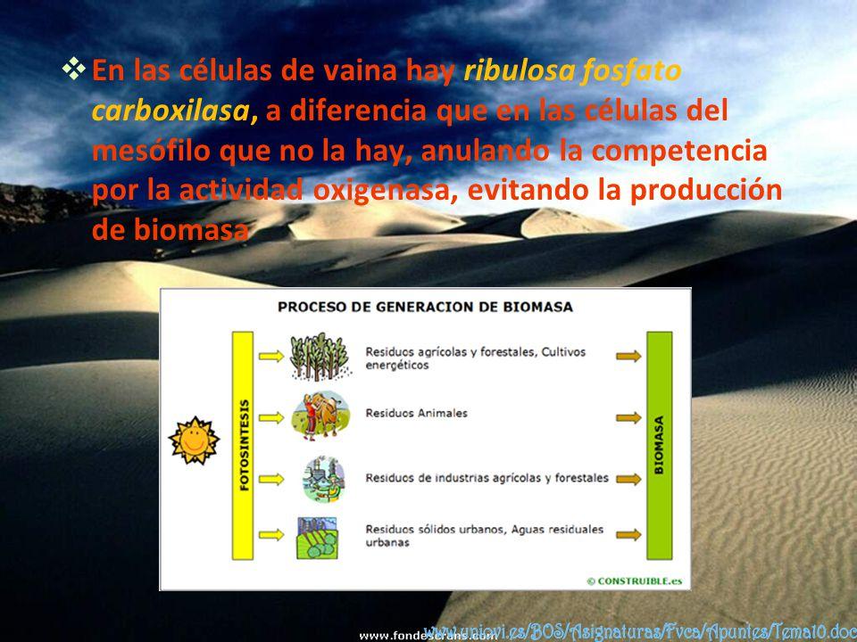 En las células de vaina hay ribulosa fosfato carboxilasa, a diferencia que en las células del mesófilo que no la hay, anulando la competencia por la actividad oxigenasa, evitando la producción de biomasa