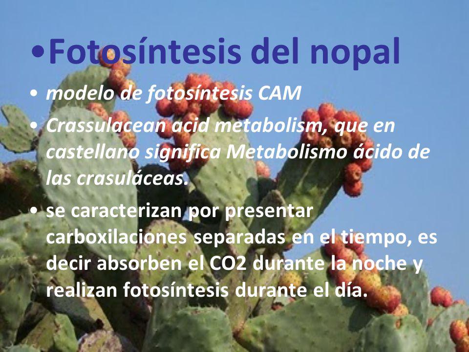 Fotosíntesis del nopal