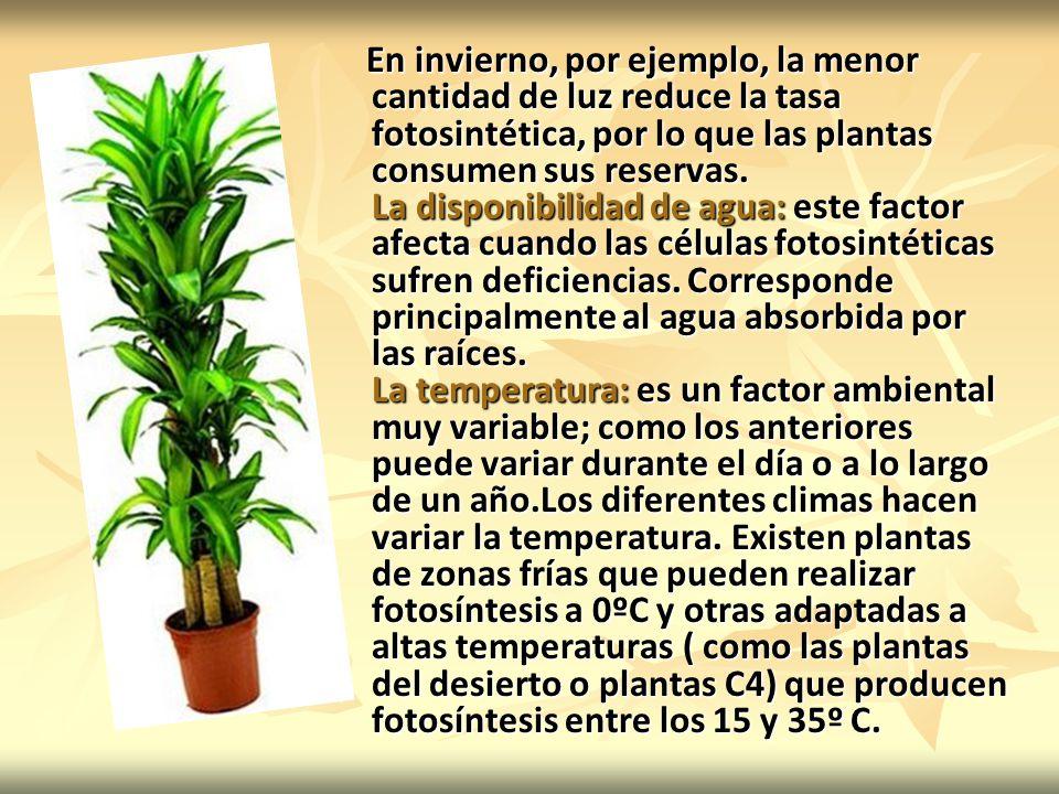 En invierno, por ejemplo, la menor cantidad de luz reduce la tasa fotosintética, por lo que las plantas consumen sus reservas.