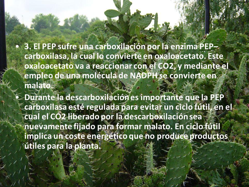 3. El PEP sufre una carboxilación por la enzima PEP–carboxilasa, la cual lo convierte en oxaloacetato. Este oxaloacetato va a reaccionar con el CO2, y mediante el empleo de una molécula de NADPH se convierte en malato.